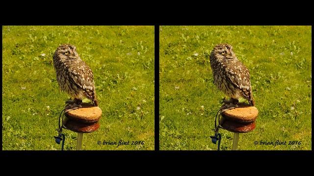 Little Owl - 3d cross-view