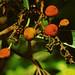 Flickr photo 'J20161013-0023—Arbutus menziesii—RPBG—DxO' by: John Rusk.