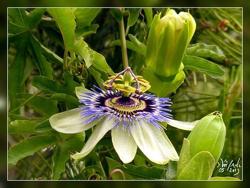1er mai ma première fleur de la passion pour vous