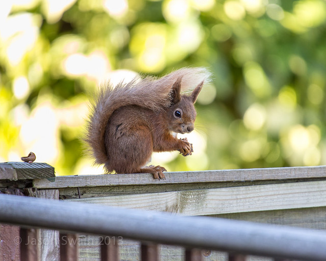 Red Squirrel Double Fence Friday