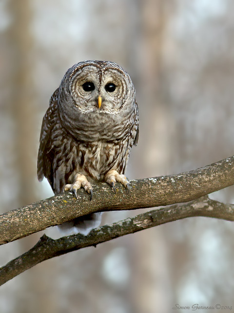 158A7499 Chouette rayée / Barred Owl
