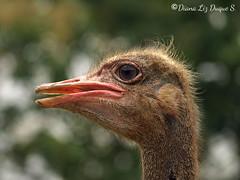 Avestruz, Struthio camelus