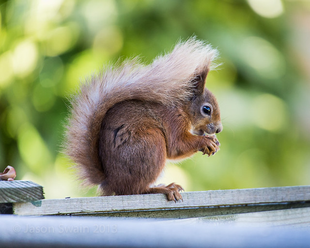 Red Squirrel IMG_7849