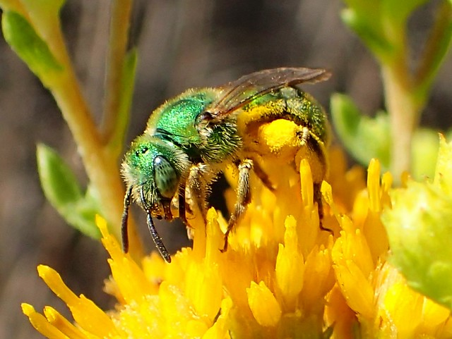 Metallic Green Sweat Bee (Agapostemon sp)