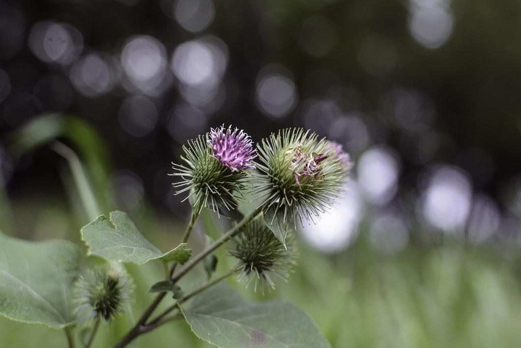 Burdock (Sticky Burrs) | Jay 龍 Den (Jayarr Denson) | Flickr