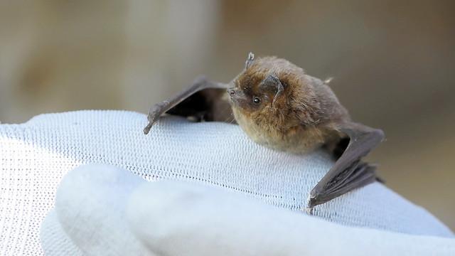 Zwergfledermaus - Common Pipistrelle