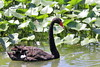 Black Swan (Cygnus atratus) by Gerald (Wayne) Prout