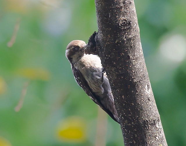 Brown - Capped Woodpecker
