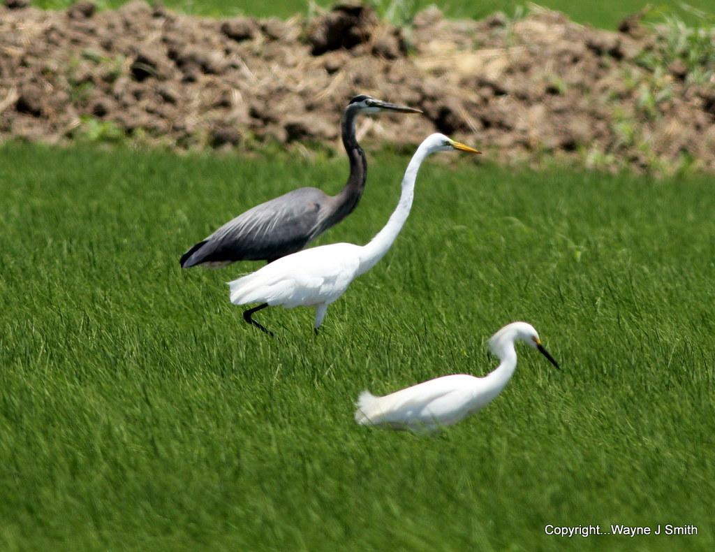 1-Hummer..GB Heron..Egrets..Kingbird 5-7-2013 019