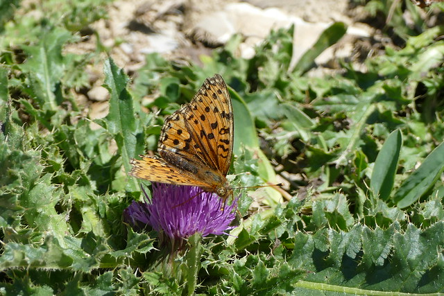 09.09.16.Papillon