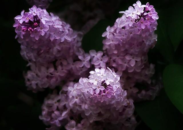 Le temps du lilas