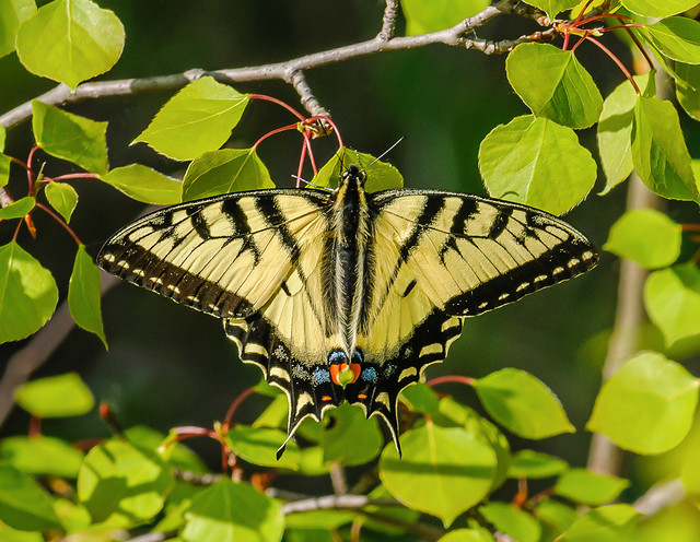 Canadian Tiger Swallowtail - Papilio canadensis (Papilionidae, Papilioninae, Papilionini) 112p-22003