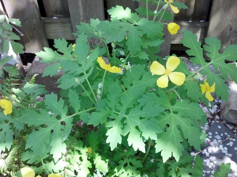Stylophorum diphllyum, Celandine Poppy