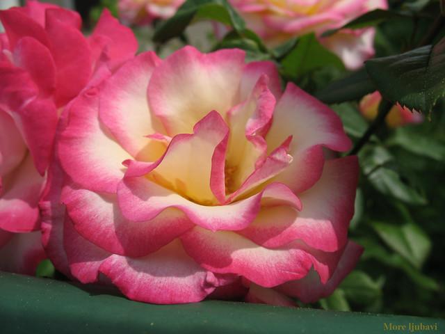 Ruža, rose