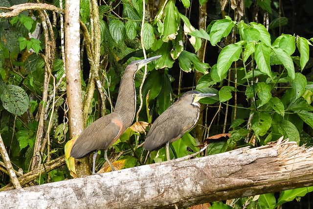 Couple of Bare-throated Tiger Heron  Manu Péru