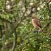 Oiseaux - Passériformes