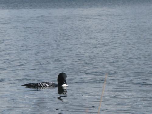 bearpawlake bird blue laclahache lake loon water wetland birds