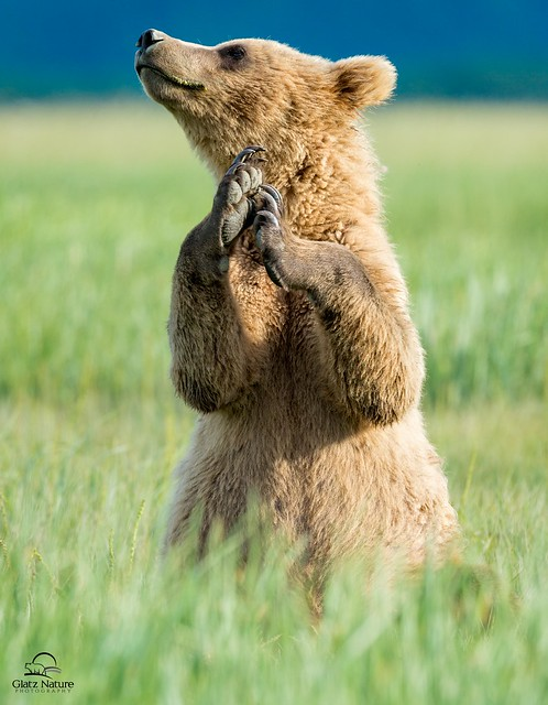 Expressive Brown Bear