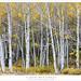 Dense Aspen Grove by G Dan Mitchell