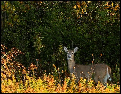 deer animal park annarbor michigan autumn fall nature