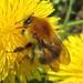 Bombus pascuorum (Common Carder-bee)