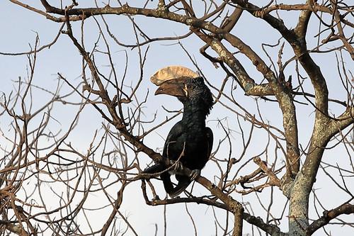 Silvery-cheeked hornbill | by dmmaus