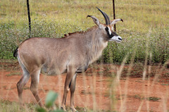 Hippotragus equinus (Roan Antelope)