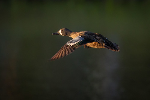 bluewingedteal bird duck flight bif nature wildlife animal water explorationgreen clearlakecitywaterauthority houston texas gseloff