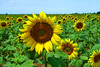 Sunflower by Dumby