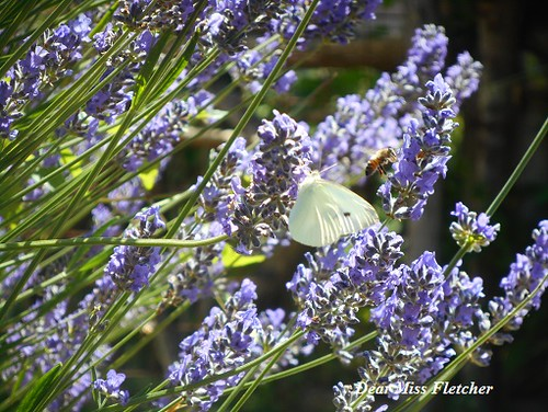Lavanda (7) | by Dear Miss Fletcher