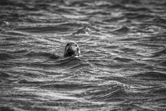 Cheeky Seal - Playing Peek-a-Boo