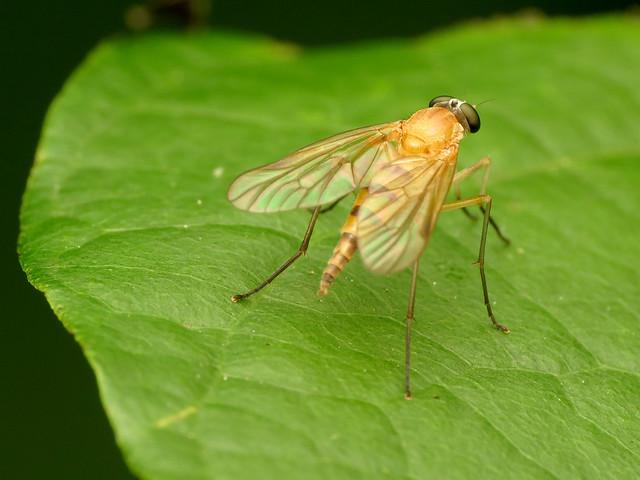 Slender Snipefly