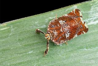 Planthopper (Lophopidae) - DSC_3876