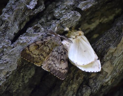Gypsy Moth Pair