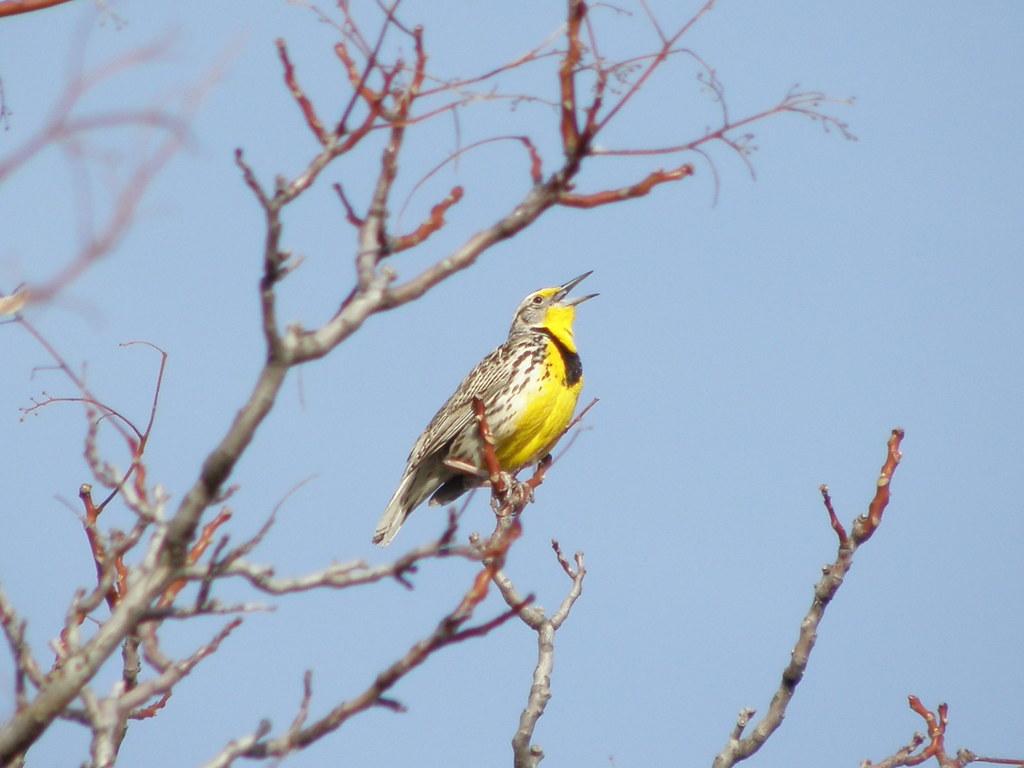 P3201683...western meadowlark