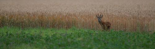thenetherlands deer dordrecht juli roedeer biesbosch reebok ree 2016 capreoluscapreolus dordtsebiesbosch barthardorff