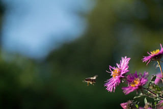 Honey bee approaching a flower | by Ivan Radic