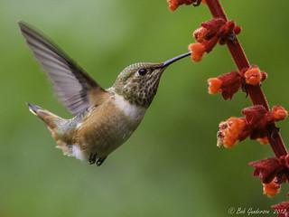 Allen's Hummingbird | by Bob Gunderson