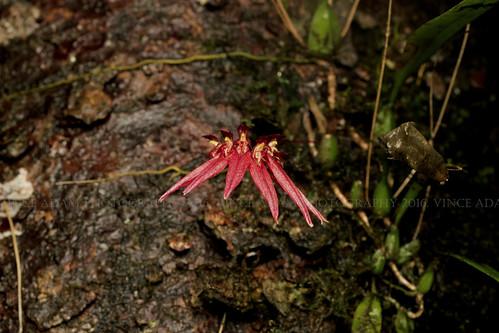 IMG_9453-0(W) Wild Orchids #10 (Bulbophyllum sp.), probably Bulbophyllum acuminatum (Ridl, 1907)