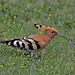 Oiseaux - Bucérotiformes