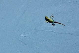Jamaican Anole | by kansasphoto