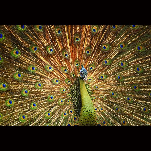 Beautiful Peacock [ EXPLORED ]