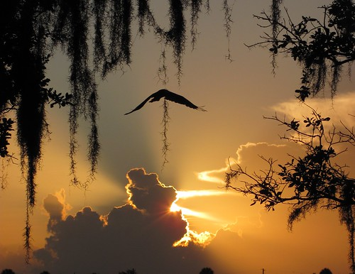 trees sunset bird silhouette day florida cloudy turkeyvulture