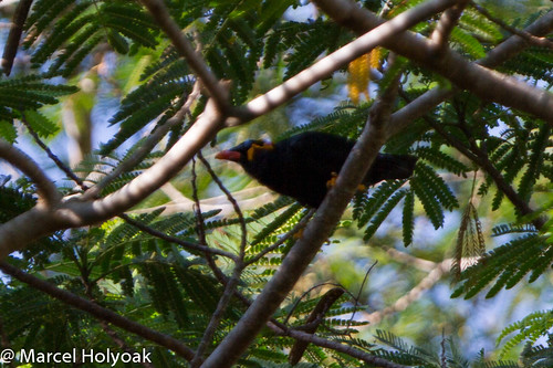 Common Hill Myna (Gracula religiosa), Puerto Princesa to Sabang, Palawan, PH, 2012-06-09- (102 of 4).jpg | by maholyoak