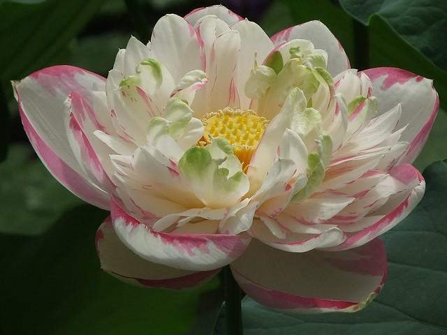 Sacred Lotus. Waterlily House, KEW, The Royal Botanic Garden, London @ 9 June 2012 (P4 of 6)