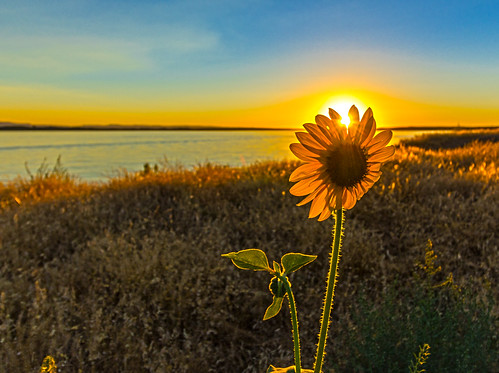 sunset sunflower nature idaho summertime