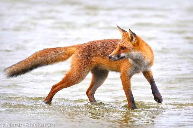 Red Fox in Water 56819