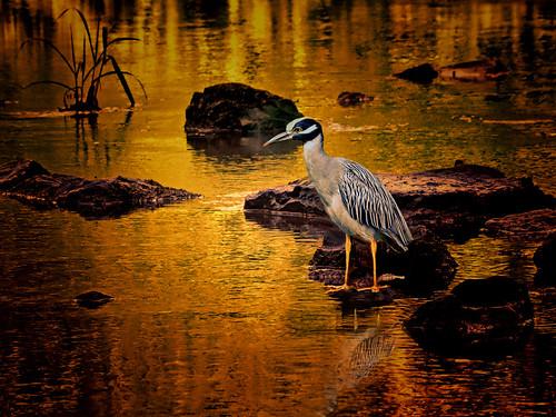 heron stream sunset blue