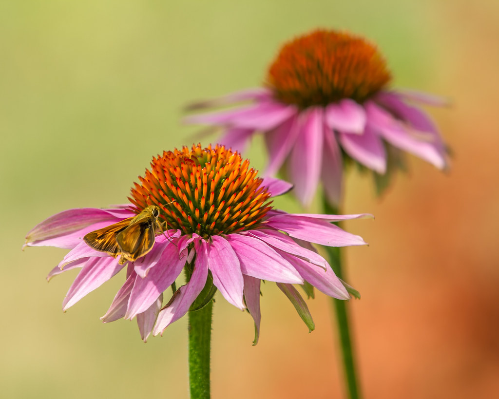 Moth and Echinacea [Explored #108, July 4, 2012]
