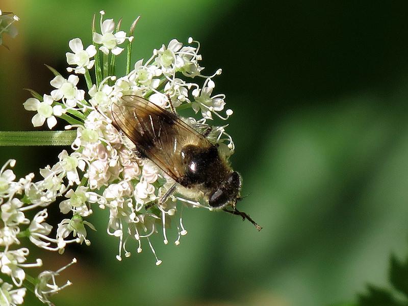 Hoverfly – Cheilosia illustrata